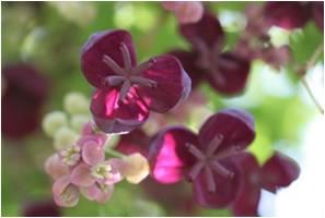Schwarz rote Blüte