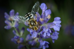 Schwebfliege an Lavendel