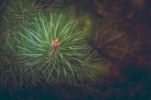 pine-463469_960_720